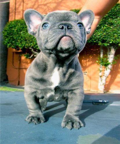 Fonkelnieuw Blauwe Franse bulldog pups - huntingad.com LD-66